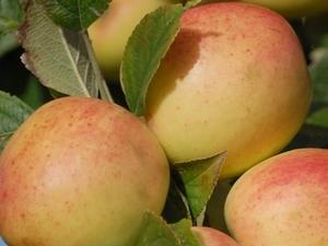 pommes ferme félicité longues sur mer